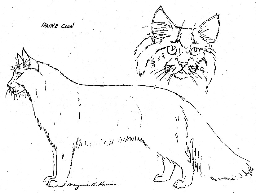 Main Coon body and head View
